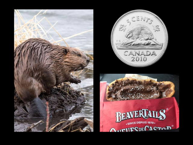 A collage of three photos with a black background. The photo on the left side depicts a beaver. In the top right corner is a 2010 five cent Canadian coin (a nickel) with a beaver on it. The bottom right corner has a picture of a beaver tail dessert – chocolate topped fried dough, wrapped in a red sleeve that says beavertails in fancy lettering.