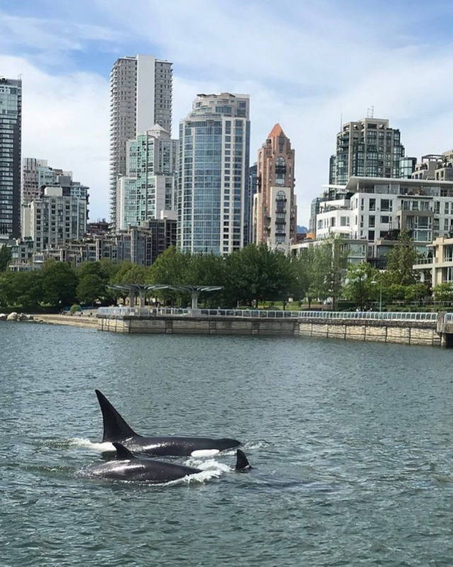 Two killer whales swim in False Creek. In the background is the north-side of False Creek community in the City of Vancouver.